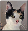 Kitten the Calico Cat