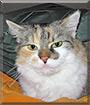 Shila the Calico cat
