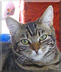 Comet the Tabby