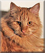 Aslan the Maine Coon, Scottish Fold