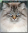 Ulisse the Siberian Forest Cat