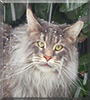 Mister Pieper the Maine Coon
