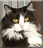Lucy the Norwegian Forest Cat