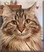 Fernando the Maine Coon mix
