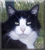 Ringo the Tuxedo Cat