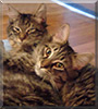 Snickers, Skittles the Maine Coon mixes