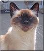Meri the Siamese Cat