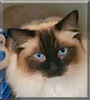 Cocoa the Ragdoll