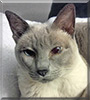 Frosty the Lilac Point Siamese