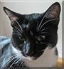Sebastian the Tuxedo Cat