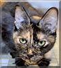 Shylo the Tortoiseshell cat