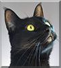 Haku the Domestic Shorthair Cat