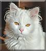 Simba the Persian cat