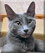 Denali the Russian Blue, Domestic