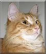 Mazey the Orange Tabby, Maine Coon