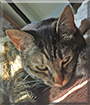 Brittney the Tabby Mix Cat