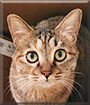 Lily Jane the Domestic Shorthair Tabby