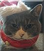 Thallhulah the Tuxedo Cat