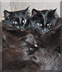 Fudge and Truffles the Medium hair cats