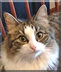 Tandi the Maine Coon mix