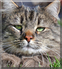 Tuffy the Maine Coon mix
