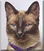 Mity the Siamese Cat