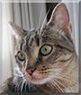 Miss Sasha the Tabby Cat
