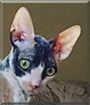 Beatrice the Cornish Rex