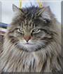 Half n' Half the Maine Coon mix