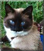 Tony the American Shorthair/Siamese mix