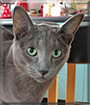 Spencer the Russian Blue/Siamese