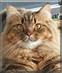 Max the Maine Coon, Tabby mix