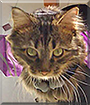Recess the Maine Coon Cat