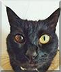 Luna the Shorthair Cat
