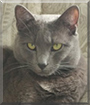 Biscuit the Russian Blue/Siamese Mix
