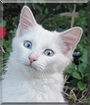 Boo the Turkish Angora mix