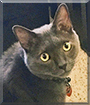 Mo Jones the Russian Blue mix