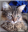 Gwen the Maine Coon