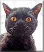 Loki the Selkirk Rex