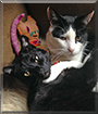 Rooster, Huey the Shorthair Cats