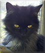 Inky the Himalayan mix