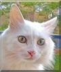 Romeo the Longhair Cat