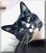 Rocky Baba the Tuxedo Cat