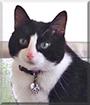 Loki the Tuxedo Cat