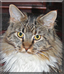 Sherry the Maine Coon
