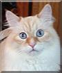 Flip Flop the Siberian Forest Cat