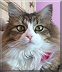 Lucy Lou the Maine Coon Cat