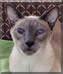 Mongo the Blue Point Siamese