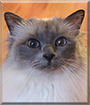 Zila the Sacred Birman