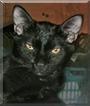 Amey the Siamese/Tabby mix